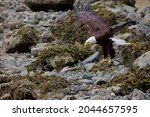 Adult Bald Eagle Comes In To...