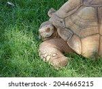 A Large Land Tortoise Rests...
