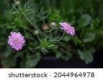 Photo Of Scabiosa Flower...