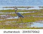 Great Blue Heron Walking Through a Wetland in Horicon Marsh in Wisconsin