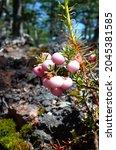 wild pink berries of pernettya...   Shutterstock . vector #2045381585