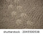 A Humboldt Penguins Footprints...