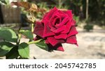 Autofocus on Red rose in sunny day