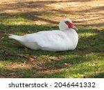 White Muscovy Duck  Cairina...