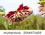 Large Akita Flowers Growing...