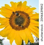 A Large Sunflower Head With...