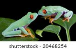 Two Baby Red Eyed Tree Frogs...
