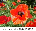 Red Poppy Flowers With A Bee...