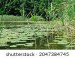 Close Up   Green Reeds Growing...