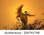 African Spoonbill Stork   Wild...