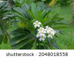 White Plumeria Flowers ...