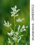 Small photo of Aconogonon alpinum. Blossoming plant close up