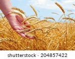 Wheat Field And Male Hand...