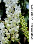 Small photo of Aerides odorata Lour.