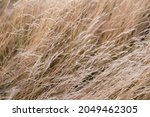 Wild Dry Grass In The Autumn...