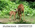Female Nyala Antelope ...
