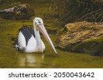 pelican swimming in green water | Shutterstock . vector #2050043642