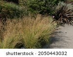 Late Summer Feathery Foliage Of ...