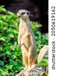 The meerkat stands and looks....
