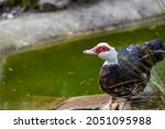 Muscovy Duck With Red Face And...