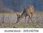 Deer Grazing In A Field. Deer...