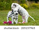 Stock photo dalmatian puppies playing on a meadow 205157965