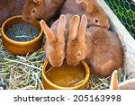 Braun Rabbits