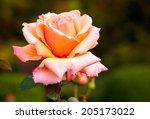 Stock photo fragrant rose in full bloom washington park rose garden portland oregon 205173022