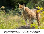Eurasian lynx (Lynx lynx) standing on a rock in the forest. Beautiful brown and orange furry mammal in its environment with soft background. Wildlife scene from nature.