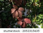 First Red Autumn Leaves Of Wild ...