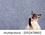 The siamese cat meows loudly...