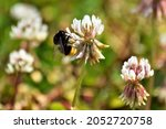 Bumblebee On White Clover...