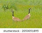 Canada Goose Couple Holding...