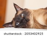 Portrait Of A Siamese Cat With...