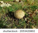Calvatia Craniiformis  Commonly ...