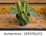 Sri Rejeki Or Aglaonema Leaf...