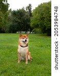 japanese shiba inu dog smiling... | Shutterstock . vector #2053984748