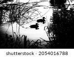 Two  Mallard Ducks Swimming On...