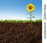 cross section view of sunflower ... | Shutterstock . vector #205417666