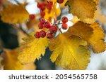 Red Viburnum Branch In The...