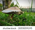 White Mushroom With Brown...