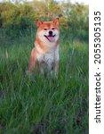 japanese shiba inu dog smiling...   Shutterstock . vector #2055305135
