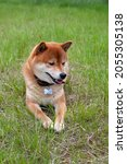 japanese shiba inu dog smiling...   Shutterstock . vector #2055305138