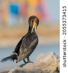 Great Cormorant   Young Bird  ...