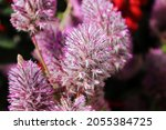 Pink Feathery Blossoms On A...