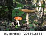 wild mushrooms in the forest.... | Shutterstock . vector #2055416555