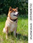 japanese shiba inu dog smiling...   Shutterstock . vector #2055608732