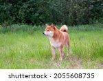 japanese shiba inu dog smiling...   Shutterstock . vector #2055608735