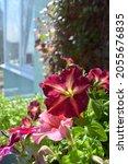 bright petunia flowers on... | Shutterstock . vector #2055676835