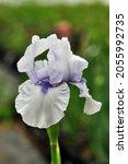 "Intermediate Bearded Iris ""blue ..."